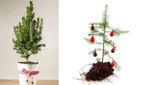 Какую елку не стоит приносить в дом
