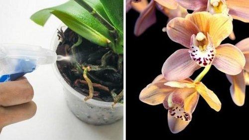 Как выходить увядшую и безнадежную орхидею
