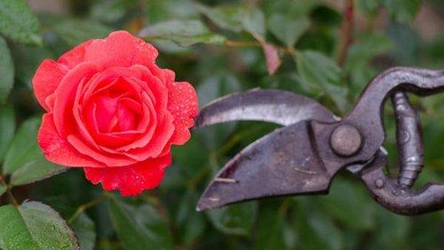 Зачем заниматься обрезкой роз по весне