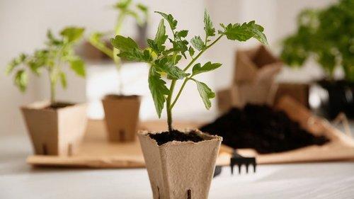 Основные ошибки при выращивании рассады томатов