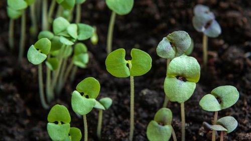 Заказал семена из Голландии, проверяю на всхожесть и предвкушаю щедрые...