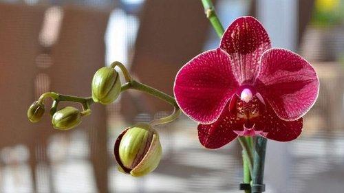 Выбираем комнатную орхидею