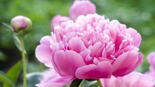 Пионы обожают органические удобрения, обильно цветут в благодарность садовнику