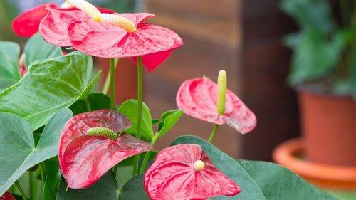 Цветок антуриум: уход за экзотическим растением в домашних условиях