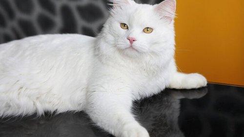 Чеширский кот: можно ли завести такого питомца — анатолийская кошка