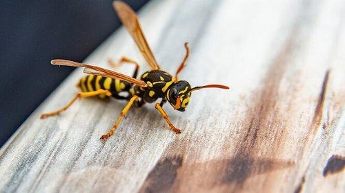 Как отличить пчелу от осы, почему они кусают и что с этим делать