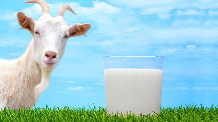 Все о полезных свойствах козьего молока